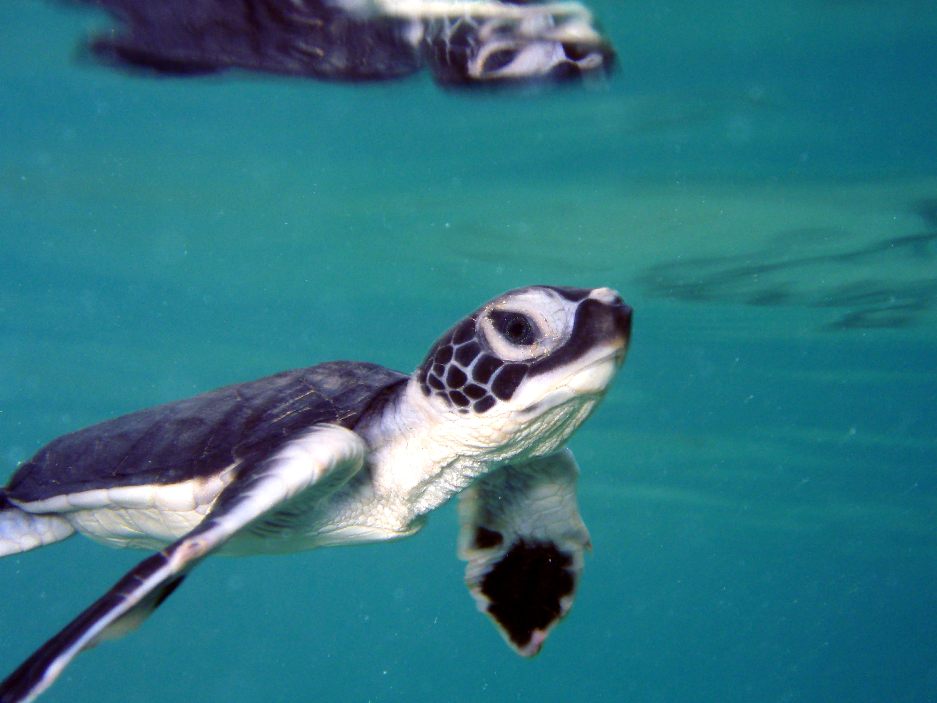 Habitats for endangered green sea turtles will be federally protected in Florida